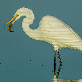Great Egret with Shrimp by Jerry Fornarotto