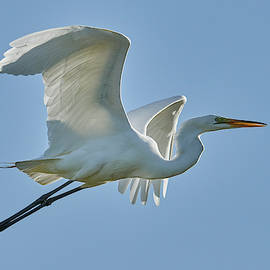 Great Egret, Yolo County California by Doug Herr