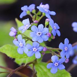 Great Forget-me-not Flowers by Marlin and Laura Hum