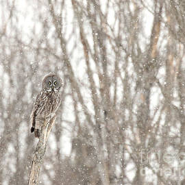 Great Gray on a snowy day by Heather King