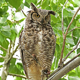 Great Horned Owl 4960  Bubo Virgininaus by Michael Trewet