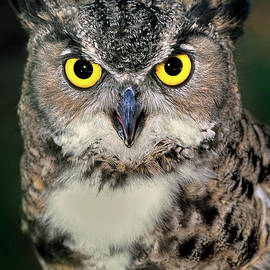 Great Horned Owl Bubo Virginianus Wildlife Rescue by Dave Welling