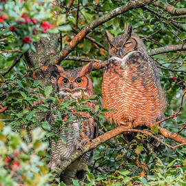Morris Finkelstein - Great Horned Owl Couple At Sunrise