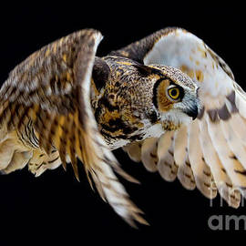 Great Horned Owl Flying by CJ Park