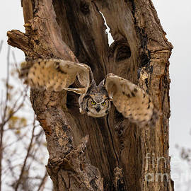 Great Horned Owl Flying Out of a Tree by CJ Park