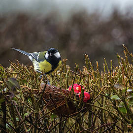 Great Tit. by Angela Aird