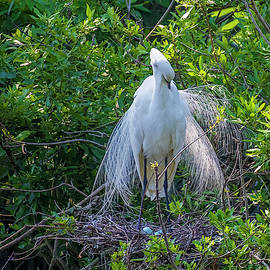 Great White Egret and blue Eggs by TJ Baccari
