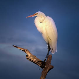 Mark Andrew Thomas - Great White Egret at Sunset