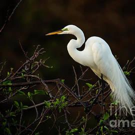 Great White Egret At Twilight by Sabrina L Ryan