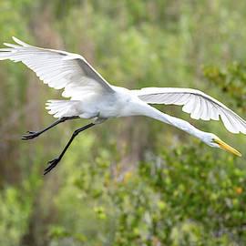 Great White Egret in flight  by Garrick Besterwitch