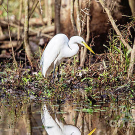 Scott Pellegrin - Great White Egret in the Louisiana Swamp