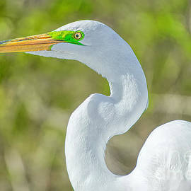 Great White Egret Portrait by Judy Kay