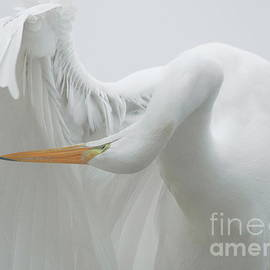 Great White Egret - Print 944 Postcard by Paulette Thomas