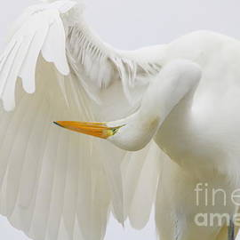Great White Egret - Print 945 by Paulette Thomas