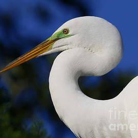 Great White Egret Profile by Myrna Bradshaw