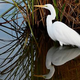 Richard Bryce and Family - Great White Egret Reflected by the Reeds