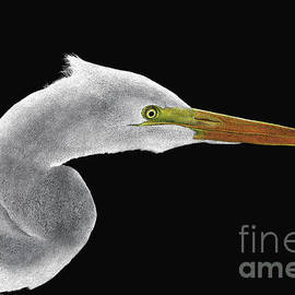 Great White Egret by Sheryl Unwin
