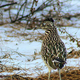 Jennifer Gonzales - Greater Roadrunner In The Snow From Behind