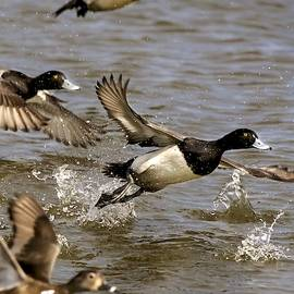 Rick Grisolano Photography LLC - Greater Scaup Drake Taking Flight