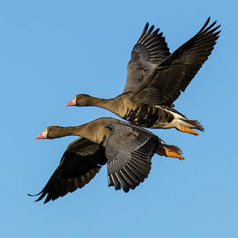 Alan C Wade - Greater White-fronted Goose - 1