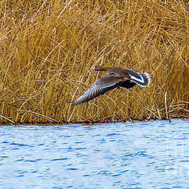 Greater White-fronted Goose by Stan Townsend