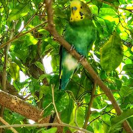 Green and Yellow Canary by William Rogers