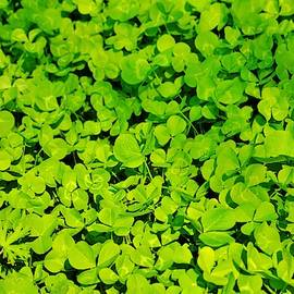Green Clover by Cynthia Guinn