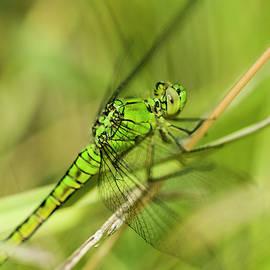 Green Darner by Robert Potts