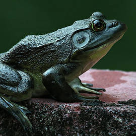 Green Frog by Trina Ansel