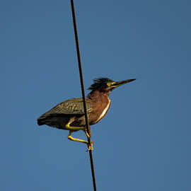 Green Heron High Wire Act by William Tasker