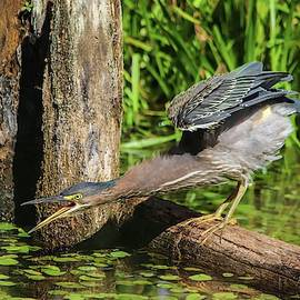 Green Heron Stretch by Marlin and Laura Hum