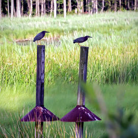 Green Herons by Brian Wallace