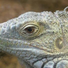 Green Iguana Face Closeup by Paul Comtois
