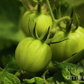 Green Jersey Tomatoes  by Sharon Mayhak
