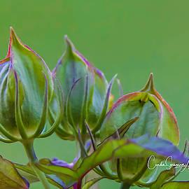 Green Pods by Connie Allen