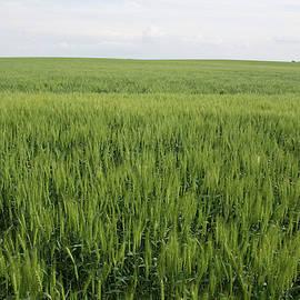 Green Wheat Farm by Dylan Punke
