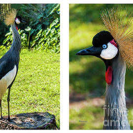 Grey Crowned Crane Gulf Shores Al Collage 10 Diptych by Ricardos Creations