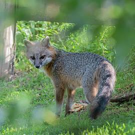 Grey Fox Near A Fence Looking Back by Dan Friend
