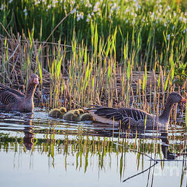 Grey Geese Family by Eva Lechner