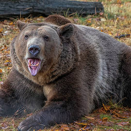 Grizzly Bear In The Fall by Teresa Wilson