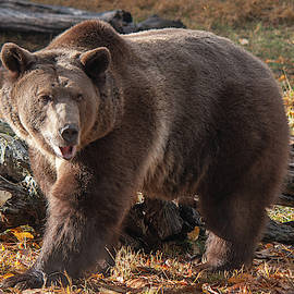 Grizzly in the Fall by Teresa Wilson