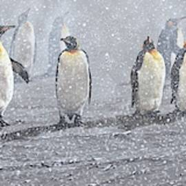 Group Of King Penguins In The Snow by Alan M Hunt