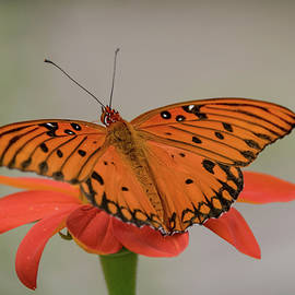 Gulf Fritillary Butterfly by Lucy Banks