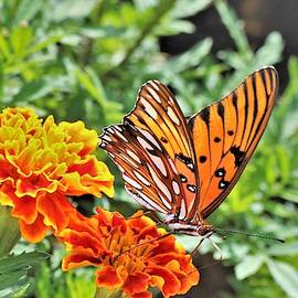 Gulf Fritillary On Orange Marigolds by Sheila Brown
