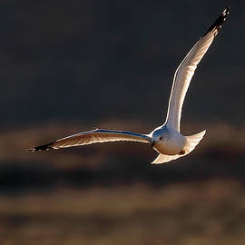 Judi Dressler - Gull flying at sunset