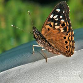 Hackberry Emperor Butterfly          August           Indiana by Rory Cubel