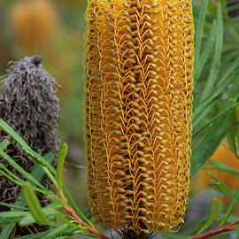 Hairpin Banksia 2/24 by Bruce Frye