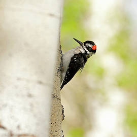 Hairy Woodpecker 5534  Picoides villosus  by Michael Trewet