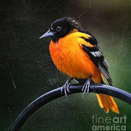 Handsome Baltimore Oriole by Tina LeCour
