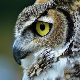 Handsome Horned Owl by Kathy Kelly